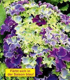 Freiland-Hortensie 'Curly® Sparkle Blue'
