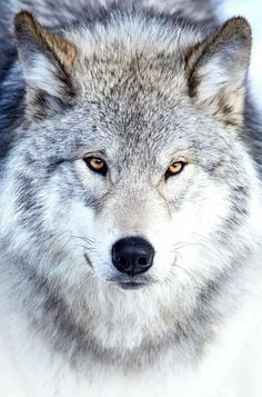 Wolf Images, Wolf Photos, Wolf Pictures, Wolf Eyes, Wolf Face, Beautiful Wolves, Animals Beautiful, Wolf Hybrid, Wolf World
