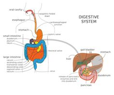 How Digestion Works: What Happens to Food After You Eat it?PositiveMed   Positive Vibrations in Health