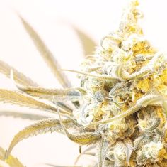 Trichome Tuesday: Follow These Frost Nugs  http://www.dopemagazine.com/trichome-tuesday-follow-these-frosty-nugs/
