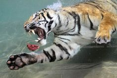Nancy Chan—Six Flags Discovery Kingdom/Reuters May Akasha, a two-year-old female Bengal tiger, swims after a chunk of meat thrown into her pool at Six Flags Discovery Kingdom in Vallejo, California. Pet Tiger, Bengal Tiger, Angry Tiger, Tiger Claw, I Love Cats, Big Cats, Animals Beautiful, Cute Animals, Wild Animals