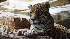 """Dal Leopardo al Gatto """"pescatore"""", dal Puma alla Lince, ecco una selezione di…"""
