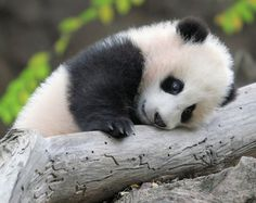 Images of amazingly small baby pandas in their everyday life. Mothers of those little bears are known for their protectiveness and carefulness with baby pandas. Baby Wild Animals, Cute Baby Animals, Funny Animals, Animals Images, Cute Creatures, Beautiful Creatures, Animals Beautiful, Niedlicher Panda, Cute Panda