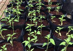 Pestovanie bez záhrady? Áno – vo vreciach - Pestovanie - Záhrada a príroda   Hobby portál