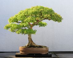 I got a mini bonsai kit and  going to give it a go. I have to start from a seed :)