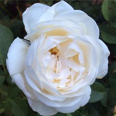 """Perfect white rose - happy Thursday everyone…"""