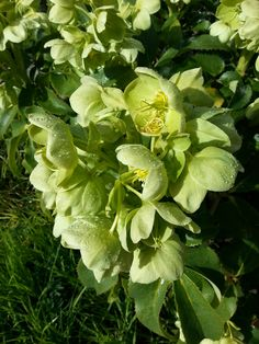 My Grandma's helleborus foetidus. Still growing long after she's gone
