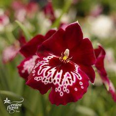 While orchids are commonly thought to be tropical plants, you can find orchids growing on every continent…except Antarctica.  Se cree que las orquídeas son plantas tropicales, pero puedes encontrarlas en cada continente, a excepción de la Antártida.