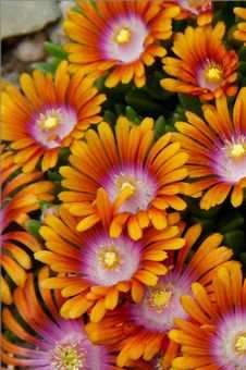 'Fire Spinner' Hardy Ice Plant