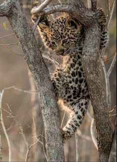 Cute leopard cub learning its harder to climb up a tree than to climb down.