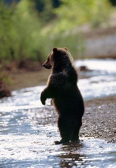 Have you ever had a close encounter with a grizzly bear? I have, on Kodiak Island. I flew a float plane out of Homer, AK and toured hiked among the grizzlies and I have video to prove it. One of my favorite days.