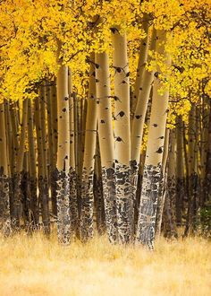 U.S. Aspen trees in fall. Valle Vidal unit of the Carson National Forest, New Mexico
