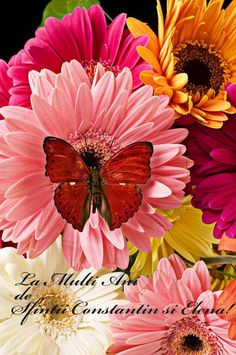 ~ Pink and Yellow and Rose and Many More Colors of Gerbera Daisies and Their Lovely Red Butterfly ~ Butterfly Flowers, Beautiful Butterflies, Amazing Flowers, Flower Art, Butterfly Bush, Butterfly Wings, Spring Flowers, Bunch Of Flowers, Pretty Flowers