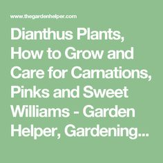 Dianthus Plants, How to Grow and Care for Carnations, Pinks and Sweet Williams - Garden Helper, Gardening Questions and Answers