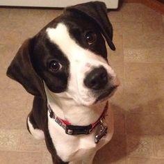 Contestant: Trooper #puppy #BilJac