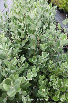 Plantas de Feijoa sellowiana a la venta en Plantamus. http://www.plantamus.es/comprar-frutales/comprar-planta-de-pequenos-frutos-