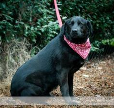 Geeves is an adoptable Labrador Retriever Dog in Mt. Juliet, TN. Geeves is a male Black Lab mix. He is a very large boy. Geeves is super friendly and loves your full attention. He was surrendered due ...
