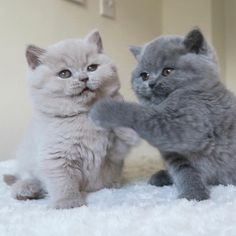 These pretty cats will make you happy. Cats are awesome friends. - These pretty cats will make you happy. Cats are awesome friends. Cute Cats And Kittens, I Love Cats, Kittens Cutest, Fluffy Kittens, Pretty Cats, Beautiful Cats, Animals Beautiful, Cute Baby Animals, Funny Animals