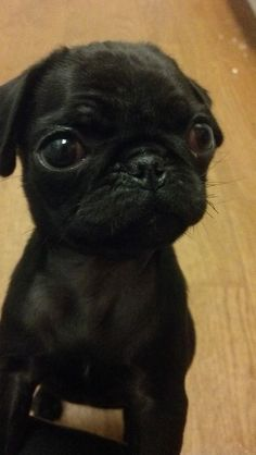 """Find out even more info on """"black pug puppy"""". Check out our web site. Black Pug Puppies, Cute Puppies, Dogs And Puppies, Doggies, Terrier Puppies, Bulldog Puppies, Boston Terrier, Cute Baby Animals, Funny Animals"""
