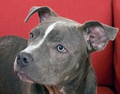 Here's what you should know about blue pitbulls and the extremely popular blue nose pitbulls.