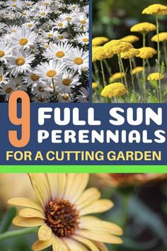 I love this list of full sun perennials! They are fragrant, bloom for a long time and are low maintenance.and they all re-bloom after being deadheaded, which makes them perfect for a summer cutting garden. Full Sun Garden, Full Sun Plants, Shade Garden, Garden Plants, Shasta Daisies, Cut Flower Garden, Flower Gardening, Flower Farm, Indoor Flowering Plants