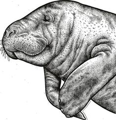 manatee drawing.. tattoo idea. Everyone can learn from a manatee because even though they are mainly killed by boat propellers leaving scars on their backs, they just keep swimming and love you anyway. We all have scars, forgive anyway.