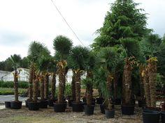Vivers Barri   Trachycarpus fortunei