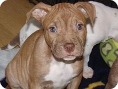 Tyrone, PA - Pit Bull Terrier Mix. Meet Bryn, a puppy for adoption. http://www.adoptapet.com/pet/11898221-tyrone-pennsylvania-pit-bull-terrier-mix