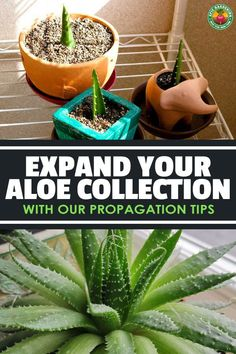 Do you know how to propagate aloe plants? We do, and we'll reveal two techniques that'll make expanding your aloe collection quick and easy! Succulent Potting Mix, Succulent Gardening, Succulents Garden, Gardening Tips, Succulent Containers, Container Flowers, Succulent Plants, Container Plants, Vegetable Gardening