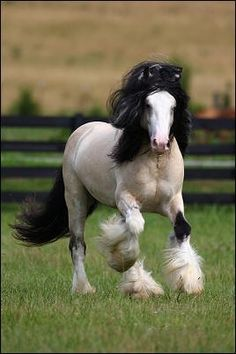Gypsy Horse - Taskin is a handsome buckskin Gypsy Cob (AKA Gypsy Vanner/Gypsy Horse) stallion owned by Villa Vanners. Most Beautiful Animals, Beautiful Horses, Beautiful Creatures, Majestic Horse, Majestic Animals, Clydesdale, Animals And Pets, Cute Animals, Gypsy Horse