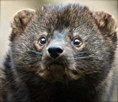 by paul floyd on Capture Minnesota // Love the eyes. looks like a teddy bear but you would not want to hug this fisher. The fangs tell it all. Fisher Cat, Pine Marten, Cat Reference, Honey Badger, Otters, Minnesota, Cute Animals, Wildlife, Creatures