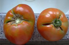 Why Do My Tomatoes Crack and Split? by veggiegardener #Tomotoes