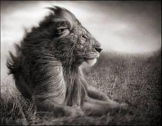 """""""Pochi fotografi hanno considerato la fotografia di animali selvaggi come una forma d'arte. L'enfasi è stata posta, in genere, sul cogliere ..."""
