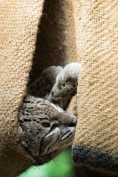 Do not desturb ... Geoffroy's cat