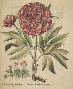 Besler Botanical Print