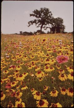 Flower meadow in Llano, Texas | by The U.S. National Archives Colorful Flowers, White Flowers, Beautiful Flowers, Beautiful Places, Guadalupe River, Still Picture, Photo Maps, National Archives, Fauna