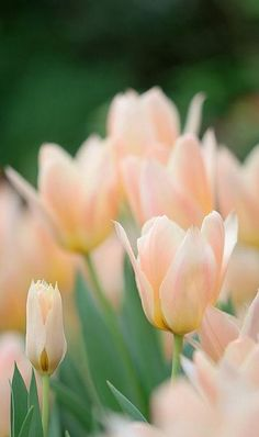 midnightinparis:  pale peach tulips