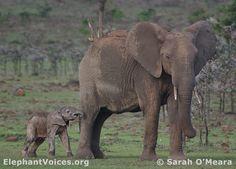 Elephants on Olare Orok Conservancy, Maasai Mara, Kenya.