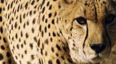 Il ghepardo e le sue abitudini - particolare del mantello maculato