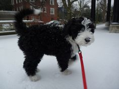 She loved the snow!  10 week old Portuguese Water Dog