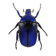 Torynorrhina Flammea, Blue - Blue Flower Beetle