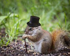 Squirrel Lover, Funny Squirrel Art, Squirrel Photography, Cute Squirrels, Squirrel wall art, Animal Lovers, Cute Animals. Funny Red Squirrel Black top hat Monocle Cute Animal print
