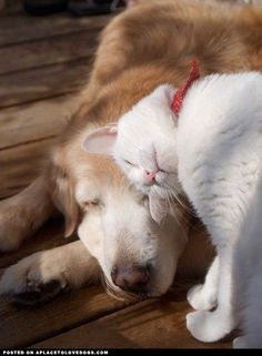Sweet Kitty giving some love and cuddles to a sleepy Golden Retriever pal.
