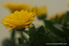 Calendula POWERDAISY SUNNY ('Kercalsun') (PowerDaisy Series) can give gardeners nine months of colour, with the bare minimum of care and attention.