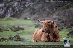 MySkye - Isle of Skye Some of you like the cattle, I have heard .