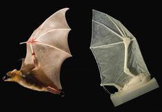 3ders.org - Researchers build a 3D printed robotic bat wing for future aircraft design | 3D Printer News & 3D Printing News