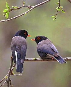 The Retz's Helmetshrike (Prionops retzii) is a species of bird in the helmetshrike family Prionopidae. It is found in Angola, Botswana, Democratic Republic of the Congo, Kenya, Malawi, Mozambique, Namibia, Somalia, South Africa, Swaziland, Tanzania, Zambia, and Zimbabwe.