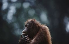 "Orphan Orangutan by Yosuke Kashiwakura: ""The island of Borneo, which is split between the countries . - Yosuke Kashiwakura/National Geographic Nature Photographer of the Year 2016 The Animals, Animal Photography, Amazing Photography, Stage Photo, National Geographic Travel, Concours Photo, Call For Entry, Fotografia Macro, Widescreen Wallpaper"