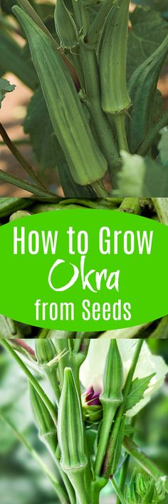 How to Grow Okra From Seeds - Plant Instructions Growing Okra, Growing Tomatoes Indoors, Growing Tomatoes In Containers, Growing Plants, Growing Vegetables, Grow Tomatoes, Fast Growing, Indoor Vegetable Gardening, Hydroponic Gardening