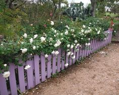 'Sombreuil ' Rose Trained along a low picket fence at the Antique Rose Emporium in Independence, Texas.,